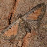Eupithecia icterata ~ Opglabbeek ~ Mijnterril - Zwarte Berg (Limburg) 17-08-2019 ©Steve Wullaert