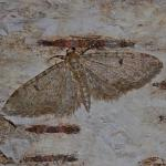 Eupithecia indigata - Waterschei ~ Mijnterril - Klaverberg (Genk - As) Pro. Limburg 13-05-2017 ©Steve Wullaert