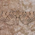 Eupithecia venosata - Furfooz ~ Parc national de Furfooz (Namen) 10-06-2017 ©Steve Wullaert