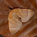 Eupithis testata - Rocherath ~ Vallée de la Holzwarche (Luik) 08-08-2019 ©Steve Wullaert