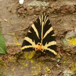 Euplagia quadripunctaria - Lamorteau ~ Au Petit Chenoi (Luxemburg) 01-08-2020 ©Steve Wullaert