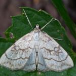 Evergestis pallidata - Kinrooi ~ Het Vijverbroek (Limburg) - 22-08-2020 ©Johan Verstraeten