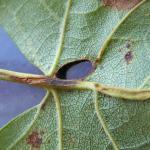Heliozela hammoniella - Berkenzilvervlekmot