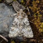 Hecatera dysodea - Aywaille ~ Heid des Gattes (Luik) - 21-06-2020 ©Damien Gailly