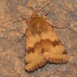 Heliothis viriplaca - Fauvillers ~ Ruisseau de Geronval (Luxemburg) - 20-06-2020 ©Steve Wullaert
