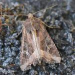 Helotropha leucostigma - Moeskroen ~ Argilière du Sterreberg - 1000-soortendag (Henegouwen) 28-07-2018 ©Stéphane Claerebout