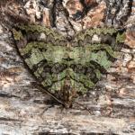 Hydriomena furcata - Krewinkel ~ Schartenknopf (Luik) 20-07-2021 ©Steve Wullaert