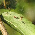 Scythrophia crataegella - Doornspinnertje