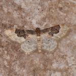 Idaea rusticata - Furfooz ~ Parc national de Furfooz (Namen) 10-06-2017 ©Steve Wullaert