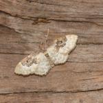 Idaea rusticata - Furfooz ~ Parc naturelle de Furfooz (Namen) 03-08-2019 ©Steve Wullaert