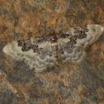 Idaea rusticata - Neerpelt ~ Het Hageven (Limburg) 13-10-2018 ©Steve Wullaert