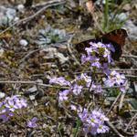 Inachis io - Furfooz ~ Parc Naturelle de Furfooz (Namen) 07-04-2018 ©Steve Wullaert