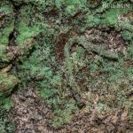 Infurcitinea argentimaculella - Lanaken ~ De Vallei van de Ziepbeek (Limburg) 18-03-2017 ©Ben Steeman