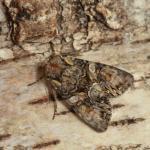 Lacanobia contigua - Arlon ~ Domaine Privé - Luxemburg 03-06-2018 ©Steve Wullaert