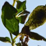Leucoptera lotella - Wavreille ~ Ry d'Hôwisse (Namen) 23-09-2017 ©Steve Wullaert