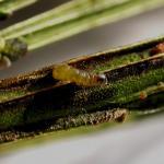 Leucoptera spartifoliella - Bremsneeuwmot