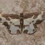 Lomaspilis marginata - Kinrooi ~ Het Grootbroek (Limburg) 18-05-2019 ©Steve Wullaert