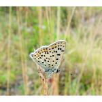 Lycaena tityrus - Furfooz ~ Parc naturelle de Furfooz (Namen) 03-08-2019 ©Dries De Vreeze