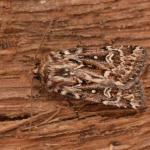 Lycophotia porphyrea ~ Opglabbeek ~ Mijnterril - Zwarte Berg (Limburg) 17-08-2019 ©Steve Wullaert