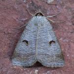 Lygephila pastinum - Rocherath ~ Vallée de la Holzwarche (Luik) 18-07-2021 ©Johan Verstraeten