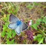 Polyommatus coridon - Furfooz ~ Parc naturelle de Furfooz (Namen) 03-08-2019 ©Dries De Vreeze