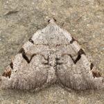 Macaria wauaria - Aywaille ~ Heid des Gattes (Luik) - 21-06-2020 ©Damien Gailly