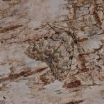 Meganola strigula - Arlon ~ Domaine Privé (Luxemburg)  (17-06-2017) ©Steve Wullaert