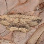 Menophra abruptaria - Furfooz ~ Parc naturelle de Furfooz (Namen) 03-08-2019 ©Steve Wullaert