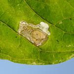 Mompha terminella op Circaea lutetiana (groot heksenkruid) - Latour ~ Près de Latour -Luxemburg 14-09-2019 ©Steve Wullaert