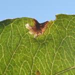 Monochroa conspersella - Arlon ~ Domaine Privé (Luxemburg) 25-08-2018 ©Steve Wullaert