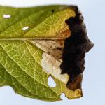 Monochroa conspersella - Kalmthout ~ De Kalmthoutse Heide - Langven (Antwerpen) 28-09-2019 ©Damien Gailly