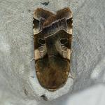 Noctua fimbriata - Heinsch ~ Marais de Heinsch (Luxemburg) 19-07-2020 ©Damien Gailly
