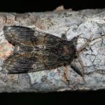 Notodonta tritophus - Koksijde ~ Doornpanne (West-Vlaanderen) - 05-07-2020 ©Damien Gailly