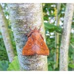 Odonestis pruni - Furfooz ~ Parc national de Furfooz (Namen) 10-06-2017 ©Dries De Vreeze