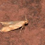 Orophia ferrugella - Furfooz ~ Parc national de Furfooz (Namen) 10-06-2017 ©Steve Wullaert
