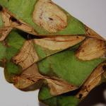 Phyllonorycter lautella - Prachteikenvouwmot