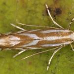 Phyllonorycter distentella - Tentjes-eikenvouwmot