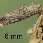 Coleophora saxicolella - Donkere meldekokermot