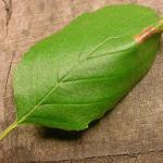 Phyllonorycter klemanella - Goudrugelzenvouwmot