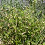 Prochoreutis myllerana - Glidkruidmot
