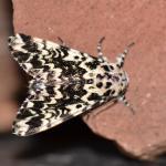 Panthea coenobita - Furfooz ~ Parc national de Furfooz (Namen) 10-06-2017 ©Steve Wullaert