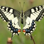 Papilio machaon - Stockay ~ Terrils et Decanteurs (Luik) 11-07-2020 ©Damien Gailly