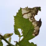 Paracrania chrysolepidella - Furfooz ~ Parc naturelle de Furfooz (Namen) 04-05-2019 ©Steve Wullaert