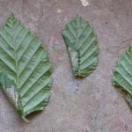 Parornix carpinella - Haagbeukzebramot
