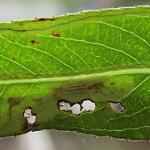Phyllocnistis valentinensis - Geel-slakkenspoormot