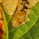Phylloporia bistrigella - Sankt-Vith ~ Rechterbach - Rossbach (Luik) 20-08-2017 ©Steve Wullaert