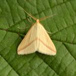 Rhodometra sacraria - Kinrooi ~ Het Vijverbroek (Limburg) - 22-08-2020 ©Steve Wullaert