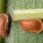 Stigmella samiatella Bruine eikenmineermot