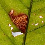 Stigmella prunetorum - Heinsch ~ Marais de Heinsch (Luxemburg) 19-07-2020 ©Steve Wullaert