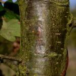 Ectoedemia longicaudella / atrifrontella - Zichem ~ De Demerbroeken (Vlaams-Brabant) 20-10-2018 ©Steve Wullaert